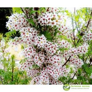 Ксантоцерас рябинолистный (чекалких орех)