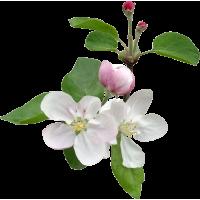 Яблони декоративные (2)