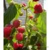 Штамбовая малина Крепыш (малиновое дерево)