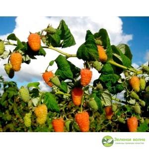 Ремонтантная малина Оранжевое чудо