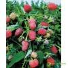 Штамбовая малина Таруса (малиновое дерево)