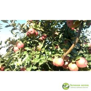 Яблоня Багряное