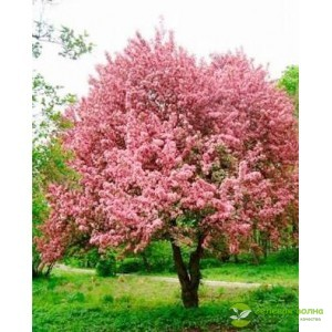 Краснолистная канадская яблоня Хелена
