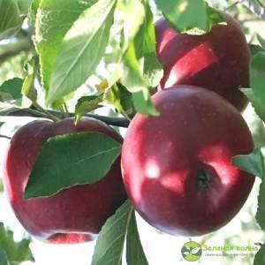 Яблоня Россошанское вкусное
